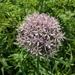 Allium nigrum - Photo (c) XXX, kaikki oikeudet pidätetään