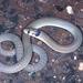 Pygopus steelescotti - Photo (c) herpguy, kaikki oikeudet pidätetään, uploaded by Paul Freed