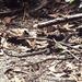 Varanus scalaris - Photo (c) herpguy, todos los derechos reservados, uploaded by Paul Freed