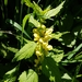 Yellow Archangel - Photo (c) Roel Roobaert, all rights reserved