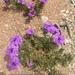 Glandularia wrightii - Photo (c) get_salty, כל הזכויות שמורות