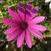 Osteospermum fruticosum - Photo (c) alkhimysta, todos los derechos reservados