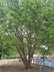 Image of Salix matsudana