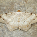 Red-headed Inchworm Moth - Photo (c) Michael King, all rights reserved