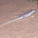 Meroles reticulatus - Photo (c) herpguy, todos los derechos reservados, uploaded by Paul Freed