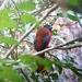 Harpactes diardii sumatranus - Photo (c) Rose Ann Morandante Reynado, all rights reserved