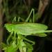 Tettigonia ussuriana - Photo (c) Taewoo Kim, όλα τα δικαιώματα διατηρούνται