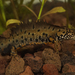 Danube Crested Newt - Photo (c) Henk Wallays, all rights reserved