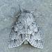 Acronicta hastulifera - Photo (c) Michael H. King, todos los derechos reservados, uploaded by mhking