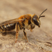 Notandrena - Photo (c) Henk Wallays, all rights reserved