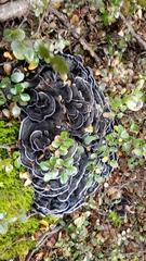 Phellodon sinclairii image