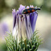 Elegant Blister Beetle - Photo (c) leftcoastnaturalist, all rights reserved, uploaded by Trent Pearce