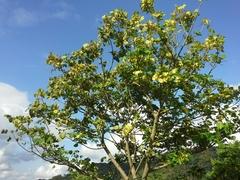 Image of Erythrina variegata