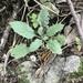 Borodinia perstellata - Photo (c) braleyg, כל הזכויות שמורות