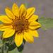 Bolander's Sunflower - Photo (c) NatureShutterbug, all rights reserved, uploaded by Lynn Watson, Santa Barbara