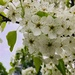 Callery Pear - Photo (c) slleon, all rights reserved