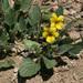 Oakwoods Violet - Photo (c) NatureShutterbug, all rights reserved, uploaded by Lynn Watson, Santa Barbara