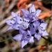 Gilia achilleifolia achilleifolia - Photo (c) NatureShutterbug, todos los derechos reservados, uploaded by Lynn Watson, Santa Barbara