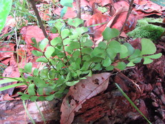 Image of Lindsaea schomburgkii