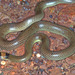 Orange-naped Snake - Photo (c) herpguy, all rights reserved, uploaded by Paul Freed