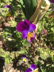 Viola tricolor image