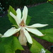 Umbrella Magnolia - Photo (c) Roy Edwards, all rights reserved