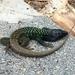 Gallotia galloti eisentrauti - Photo (c) hagi79, todos los derechos reservados