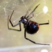 Northern Black Widow - Photo (c) John Beatty, all rights reserved