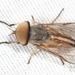 True Horse Flies - Photo (c) Joseph C, all rights reserved