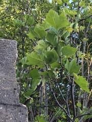 Platanus x hispanica image