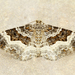 Common Carpet Moth - Photo (c) Michael H. King, all rights reserved, uploaded by mhking