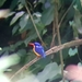 Dimorphic Dwarf-Kingfisher - Photo (c) Rose Ann Morandante Reynado, all rights reserved