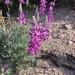 Lupinus excubitus - Photo (c) quinnbot, todos los derechos reservados