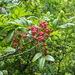 Pistacia weinmanniifolia - Photo (c) mazus_jan, todos los derechos reservados