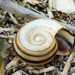 Giant Ramshorn Snail - Photo (c) BJ Stacey, all rights reserved