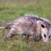 Virginia Opossum - Photo (c) Scott Simmons, all rights reserved