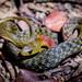Rhabdophis subminiatus - Photo (c) amf, όλα τα δικαιώματα διατηρούνται