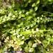Asplenium flabellifolium - Photo (c) Kath Gray, todos los derechos reservados