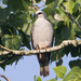 Mississippi Kite - Photo (c) BJ Stacey, all rights reserved
