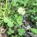 Trifolium stoloniferum - Photo (c) deking94, כל הזכויות שמורות