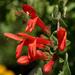Keckiella cordifolia - Photo (c) NatureShutterbug, todos los derechos reservados, uploaded by Lynn Watson, Santa Barbara