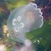 Medusa Luna - Photo (c) Wendy Feltham, todos los derechos reservados