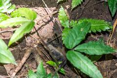 Phyllobates lugubris image