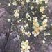 Purshia stansburyana - Photo (c) imapinemarten, todos os direitos reservados