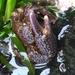 Oedignathus inermis - Photo (c) Heather Fulton-Bennett, todos los derechos reservados