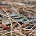Aspidoscelis sexlineatus sexlineatus - Photo (c) Bryan Ames, כל הזכויות שמורות