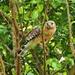 Buteo lineatus lineatus - Photo (c) Jeffery Stone, todos os direitos reservados