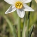 Poet's Narcissus - Photo (c) Tommaso Spilli, all rights reserved