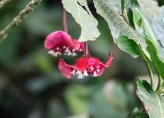 Psychotria correae image