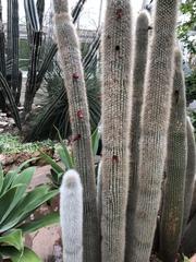 Cleistocactus strausii image